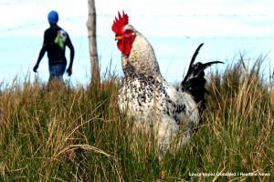 Chicken File Photo Health-e News Web