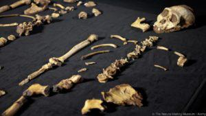 An Australopithecus sediba fossil named Lucy. (Credit: The Natural History Museum / Alamy)