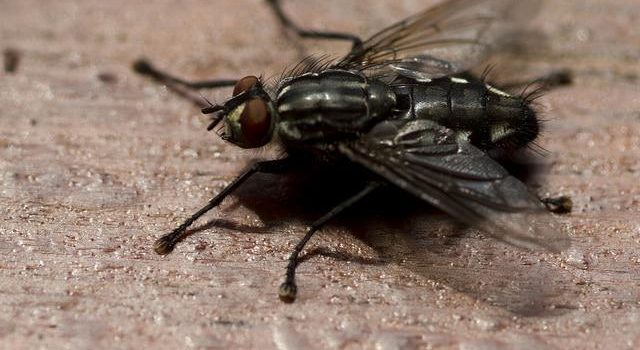 Rainy weather brings outbreak of flies to Limpopo