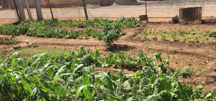 Pensioner's backyard garden feeds his family