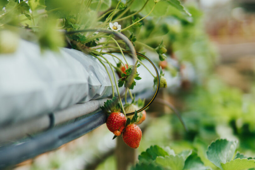 Aquaponics not only maximises productivity but could also drive food security and sustainable agriculture.